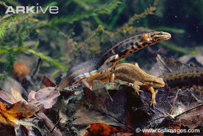 male and female smooth newt